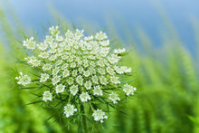 Wild Carrot Flower Closeup