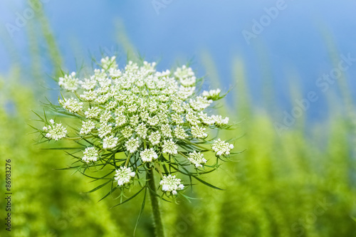 queen anne's lace Canvas-taulu