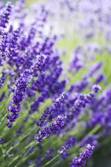 Naklejka lavender flowers