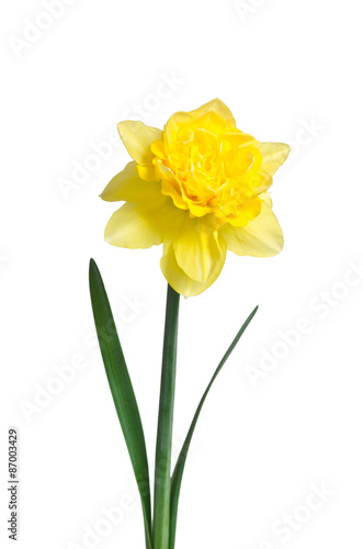 Deurstickers Narcis Beautiful daffodil isolated on white background