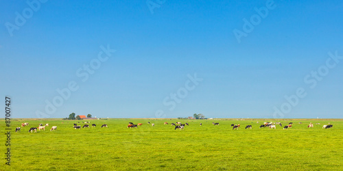 Aluminium Prints Blue Panoramic image of milk cows in the Dutch province of Friesland