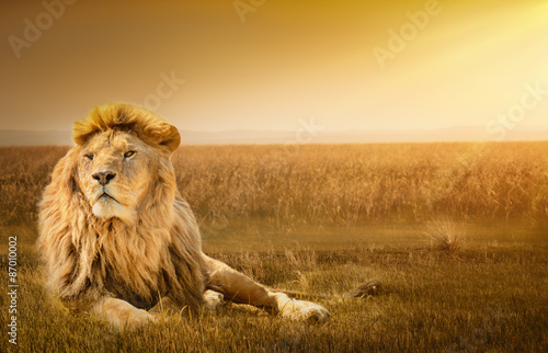 Poster de jardin Lion Male lion lying on the grass