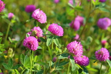 Flowers Of A Red Clover On A M...