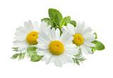 Fototapeta Kwiaty - Chamomile flower mint leaves composition isolated on white