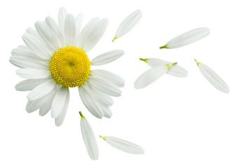 Chamomile flower flying petals isolated on white background