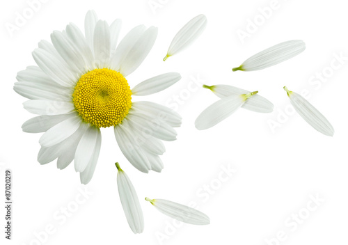Spoed Foto op Canvas Madeliefjes Chamomile flower flying petals isolated on white background