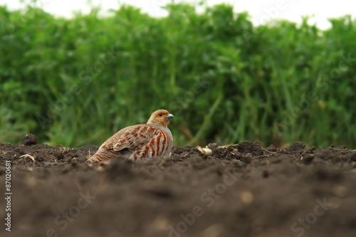 Fotografia male grey partridge