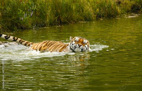 Canvas Prints Tiger Sibirische tijger neemt een bad.