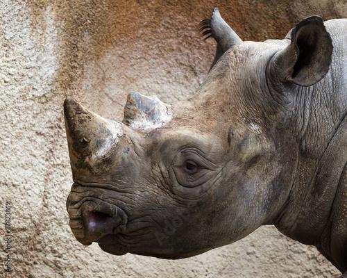 Poster Rhino close-up portrait of a black rhino