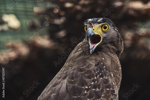 Fotografie, Tablou  Close up Hawk