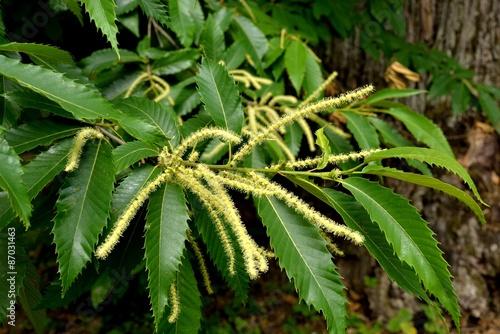 Blütenstand der Edelkastanie (Castanea sativa)