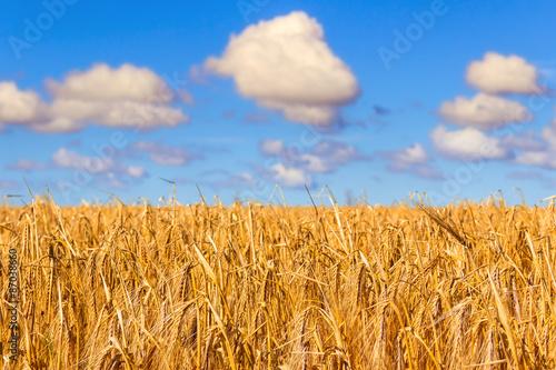 Valokuva  ESTATE.Campo di grano tra le nuvole.Puglia (ITALIA)