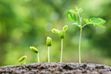 baby plants growing in germination sequence on fertile soil with natural green background