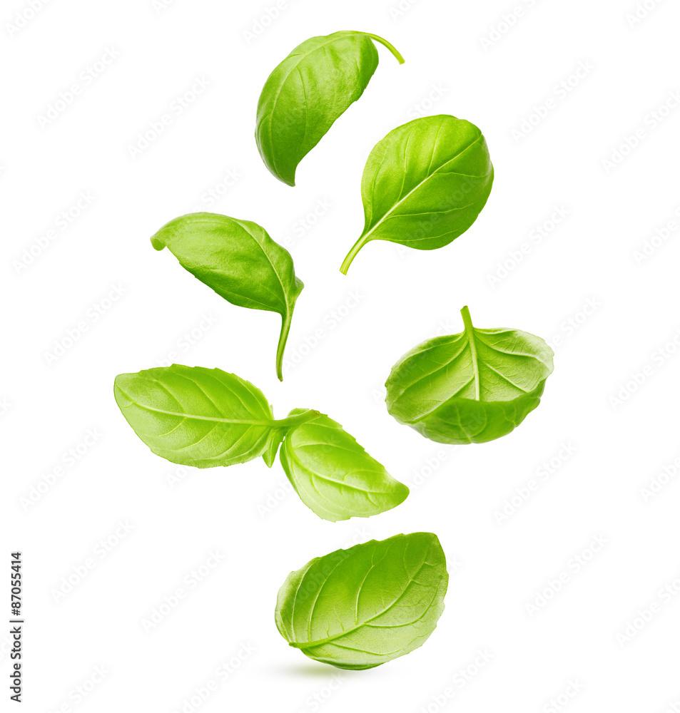 Fototapety, obrazy: Basil leaves spice closeup