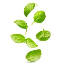 Basil Leaves Spice Closeup