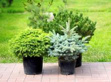 Conifer Sapling Trees In Pots