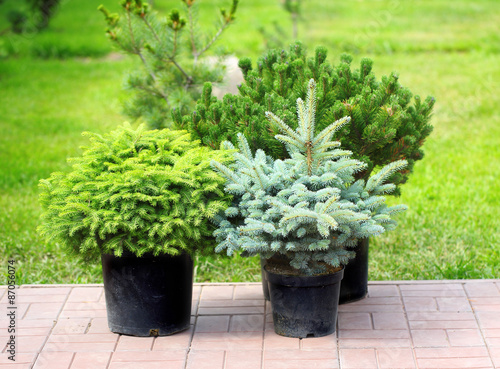 Conifer sapling trees in pots Fototapet