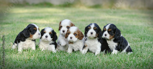 Canvas-taulu Six Cavalier king charles spaniel puppies