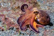 Coconut Octopus Underwater Mac...