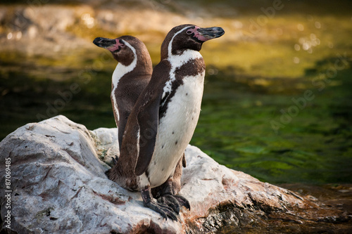 Photo  Two Yellow Eyed Penguins standing on rock
