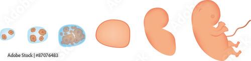 Valokuva  Embryo Development