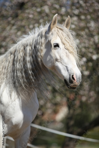 Fototapety, obrazy: Portrait of beautiful andalusian mare in spring
