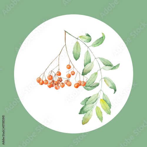 Fotografie, Obraz  Watercolor illustration of a rowan on a white background in the circle