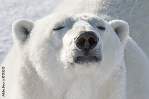 Spoed Foto op Canvas Ijsbeer polar bear smelling