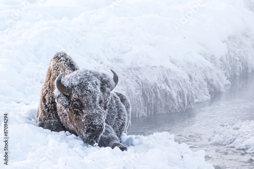 Photo sur Aluminium Bison frosted bison in the snow