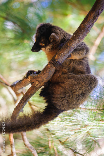 Tuinposter Panter Lemur humps on the branch of a tree