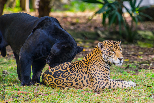 Poster Panther Black panther plays with a juguar