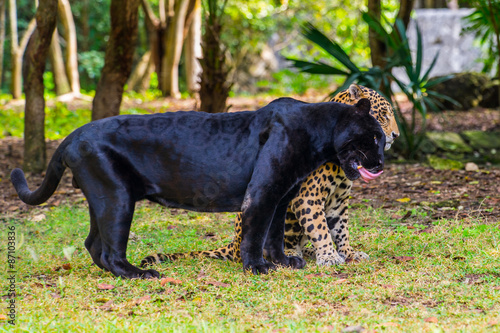 Photo Stands Panther Black panther plays with a juguar