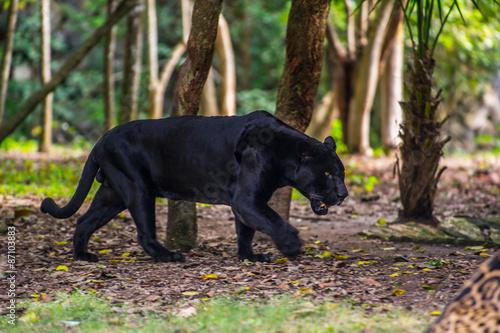 In de dag Panter Black panther walks through the jungle
