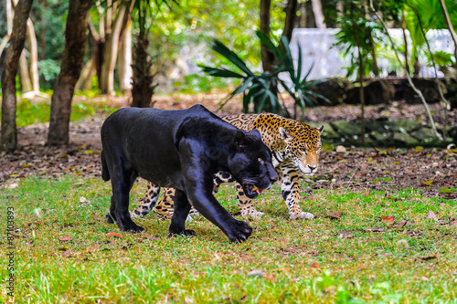 Photo Stands Panther Jungles of Mexico
