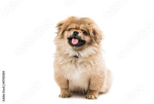 Photo  Pekingese puppy