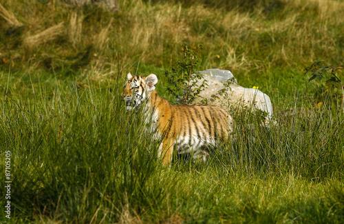 Canvas Prints Tiger Kleine tijger welp in het hoge gras.