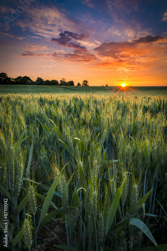 Deurstickers Platteland Sunset over a wheat field