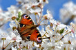Frühling,Schmetterling Tagpfauenauge