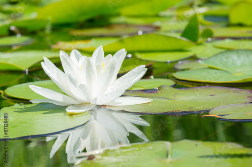 Foto op Plexiglas Waterlelies White water lily flower and leafs in a garden pond