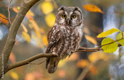 Staande foto Uil boreal owl in autumn leaves
