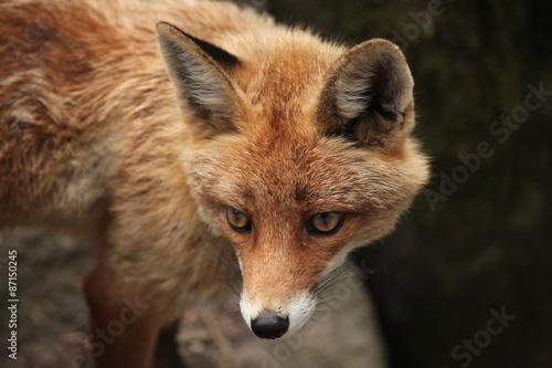 red-fox-vulpes-vulpes