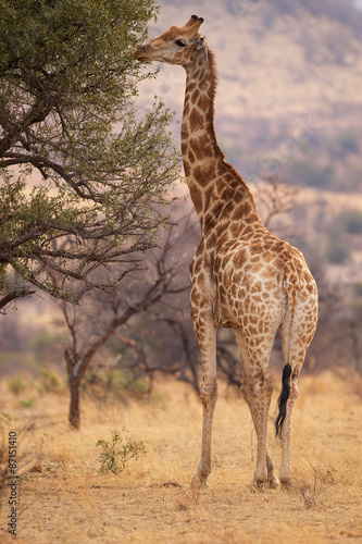 A large giraffe eating leaves from a tree