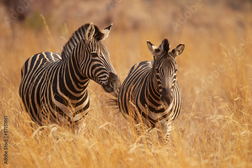Tuinposter Zebra Two zebras in long grass
