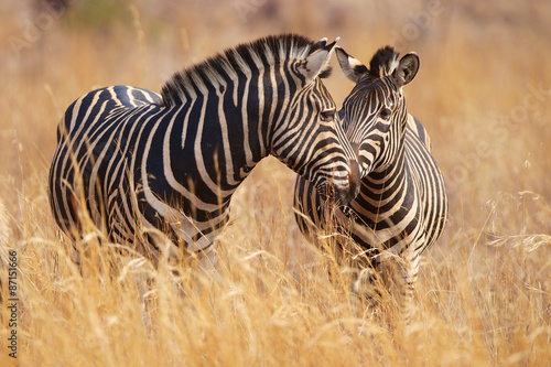Fototapeta premium Dwie zebry w długiej trawie