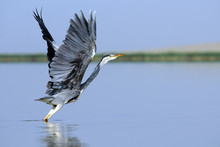 Grey Heron Takeoff With Erect Wings