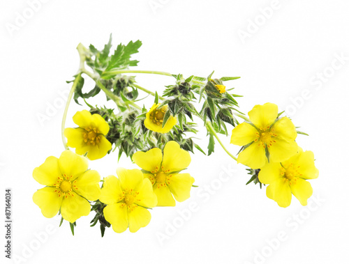 Foto  Medicinal Plant Isolated, Potentilla Reptans