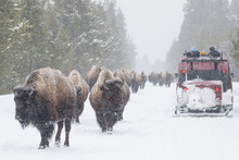 Yellowstone Bison Herd Shares ...