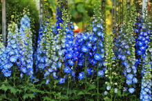 Blue Delphinium Flower Backgro...