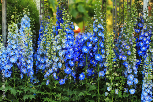Fotografiet blue delphinium flower background