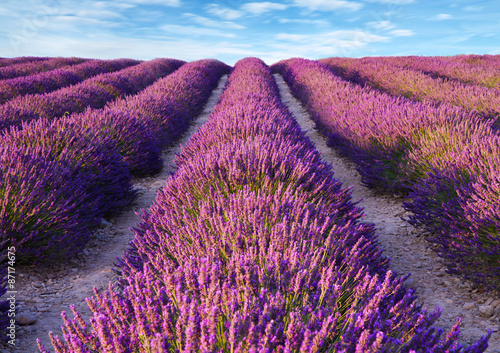 Photo  Lavender flower blooming scented fields
